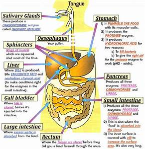 Picture Of Digestive System And Its Function