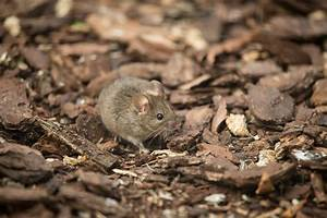 Mice, Animals, Mammals, Wallpapers, Hd, Desktop, And, Mobile