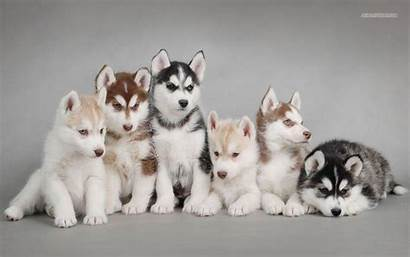 Husky Siberian Puppies Wallpapers Puppy Dogs Huskey