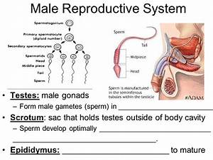 Human Reproductive Systems - ppt video online download