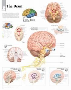 The Brain  U2013 Scientific Publishing