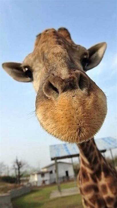 Animal Funny Animals Wallpapers Backgrounds Giraffe Resolution