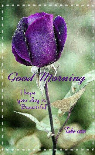 beautiful purple rose good morning pictures