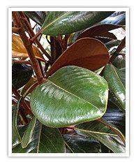 magnolia tree varieties australia types of magnolia trees nurseries online australia