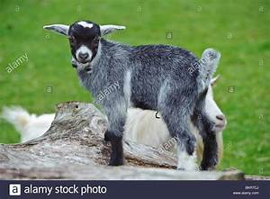 Two week old pygmy goat kid jumping and playing on a ...