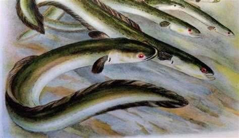 cuisiner une anguille l anguille une disparition programmée
