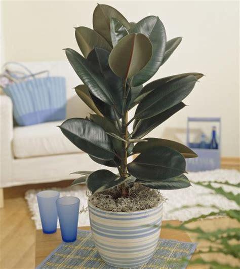 gummibaum im freien gummibaum pflanzen pflegen und schneiden mein sch 246 ner garten