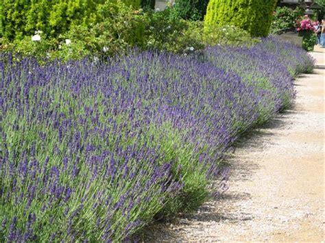 lavender hedge images english lavender lavandula angustifolia hidcote potted hedging fruit delivered to your