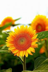 12 Sunflower Lecithin Benefits And How To Include It In