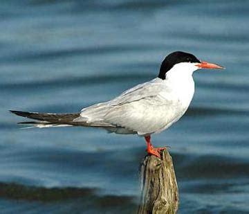 Uccello Simile Al Gabbiano - pesca sub liguria fan club page 328