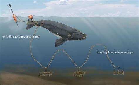 Atlantic Right Whale Diagram by How Whales Become Entangled Marine Wildlife Magazine