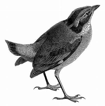 Bird Illustration Digital Drawing Artwork Birds Sparrow