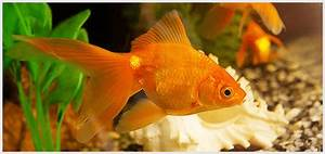 Different Types Of Goldfish  Their Description And Picture