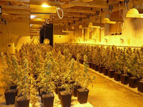 Polizei Hebt Cannabis-plantage Mit 800 Pflanzen Aus