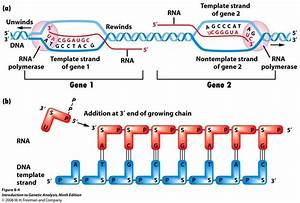 Dna coding strand quotes for What is a template strand