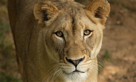 lion smithsonians national zoo