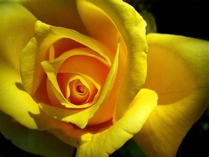 Yellow Rose Flower Roses Flowers Romantic Golden