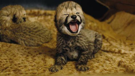 baby geparden  stukenbrock bilder video vom nachwuchs