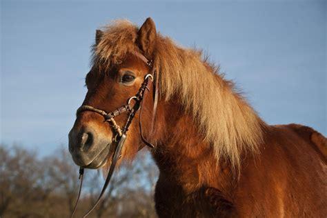 bridle pony mechanical bitless side pull hackamore shetland chestnut hackamores bridles definition horses does maiwald carina getty gelding thesprucepets