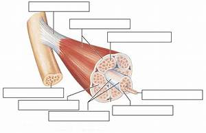 Muscle  Circulatory    Nervous System Flashcards