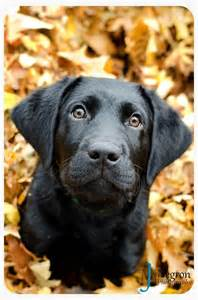 Cute Black Lab Puppies in Fall