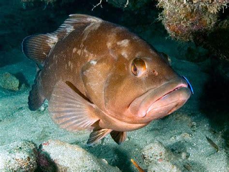 grouper fish reef species dive