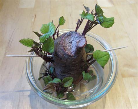 suesskartoffeln wie wirds gemacht gartenpaten
