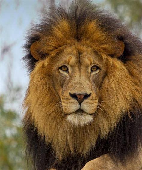 lion san diego zoo