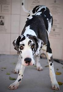 17 Best images about Great Dane on Pinterest | Harlequin ...