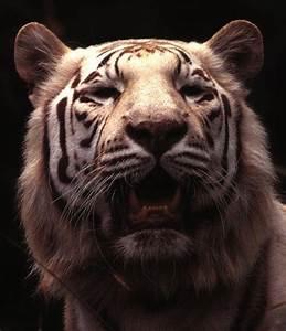 White Tiger Roaring Face