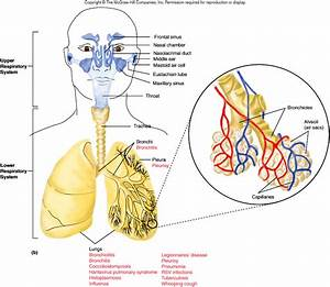 Diagram Of The Lower Respiratory System