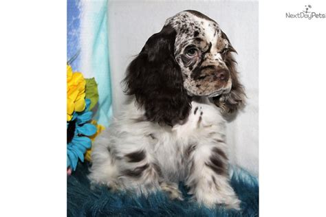 Breeders of quality parti color cocker with excellent temperament and complete health testing. Royal: Cocker Spaniel puppy for sale near Denver, Colorado. | 165eef93-a611