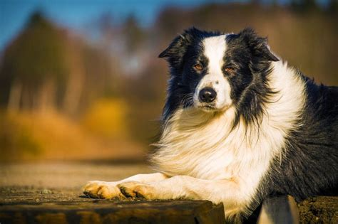 grooming tips  short haired border collies