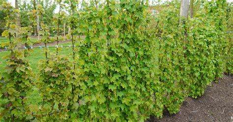 Garten Johannisbeeren Pflanzen by Johannisbeeren Am Spalier Erziehen Mein Sch 246 Ner Garten