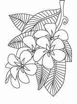 Coloring Flower Pages Peony Frangipani Plumeria Printable Colouring Sheets Adults Flowers Floral Patterns Adult Drawing Print Designs Getcolorings Template Embroidery sketch template
