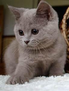 Mit Katze Umziehen : britisch kurzhaar bkh kitten und britisch langhaar ~ Michelbontemps.com Haus und Dekorationen
