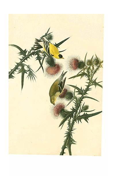 Goldfinch Designobserver American Observer Birds Watercolor Plate