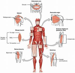 Interactions Of Skeletal Muscles