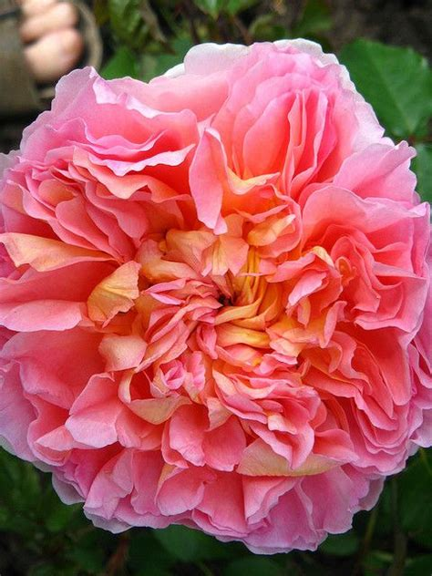 pink david roses abraham darby david austin rose rose varieties in my garden pinterest david austin roses