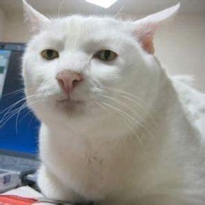 white cat meme cats your meme