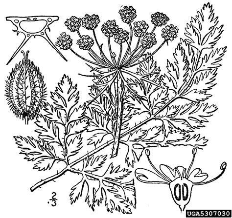 queen annes lace wild carrot daucus carota apiales