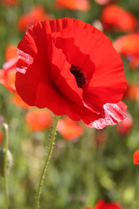 43 Best Remembrance Images On Pinterest  Poppies, Always