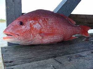 2018 Florida Red Snapper Season Guidelines - TripShock!