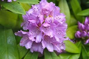 Rhododendron Blüten Schneiden : rhododendron schneiden eine bl tenpracht wie nie zuvor garten mix ~ A.2002-acura-tl-radio.info Haus und Dekorationen