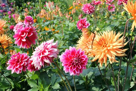 grow dahlia dahlia growing tips caring for dahlia plants in the garden