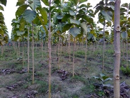 hybrid sagwan plants dealers  madhya pradesh india