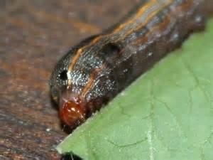 Caterpillars On Tomato Plants