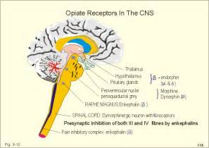 Opioid Receptors in Brain Location