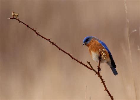 miketes carolina wren male bluebird photos by donna in