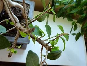 Comment Tailler Un Ficus : ficus ginseng 5 semaines apr s sa taille des images le ~ Melissatoandfro.com Idées de Décoration